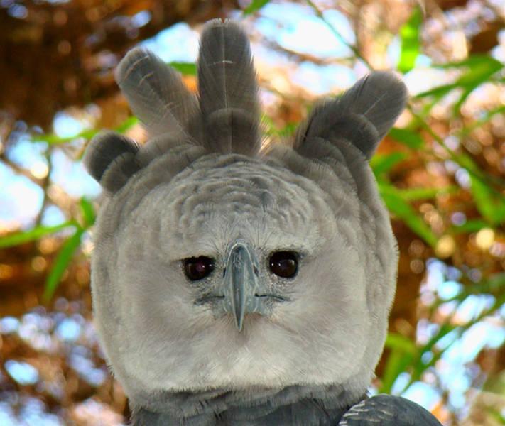 A Harpy Eagle egy nagyon nagy madár…