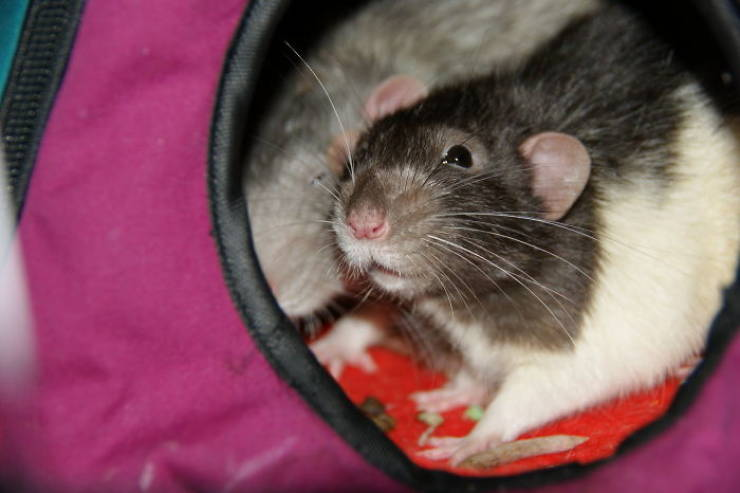Rats Were Taught How To Play Hide And Seek, And They Just Can't Stop