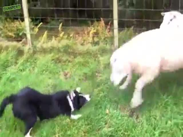 Obey, Stupid Sheep!