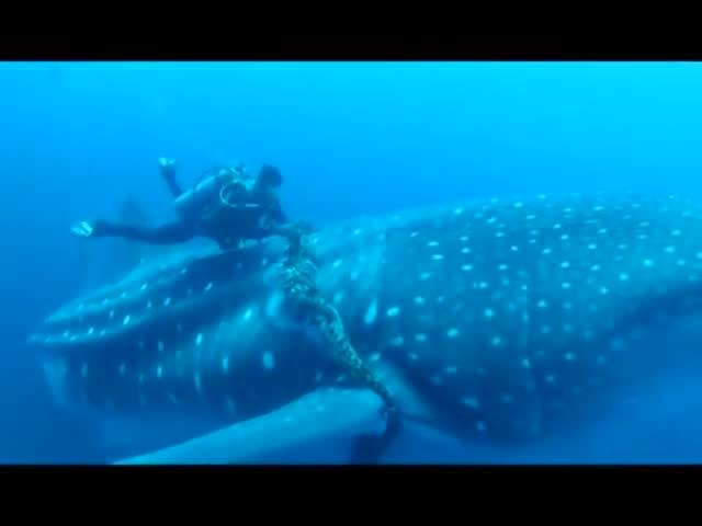 Whale Shark Asks For Help