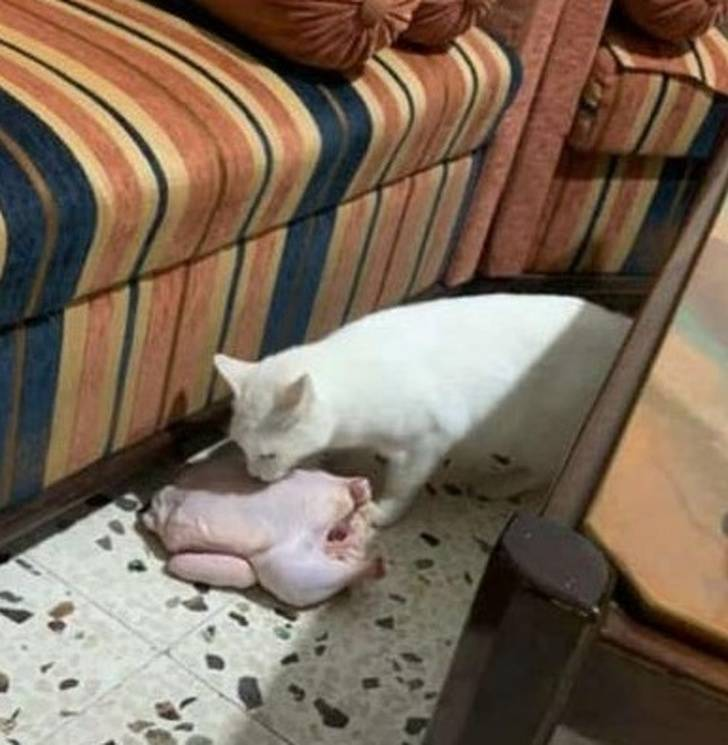 Cats Are Born To Troll Humans