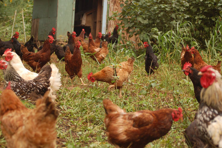 A Basket Of Golden Facts About Chickens
