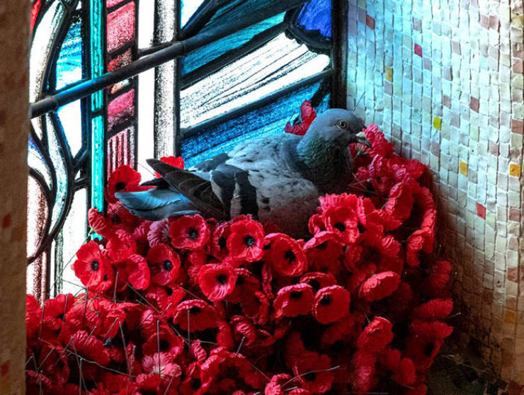 Pigeon Builds A Picturesque Nest Out Of Unknown Soldier's Grave Poppies