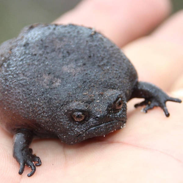 This Is A Rain Frog, And It Is Not Happy About Your Life Choices