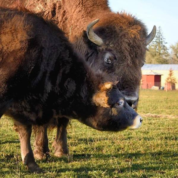 A Story About A Blind Bison, Helen, Who Met Oliver