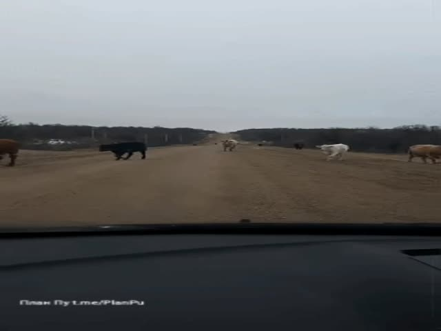 City Cat Sees Cows For The First Time