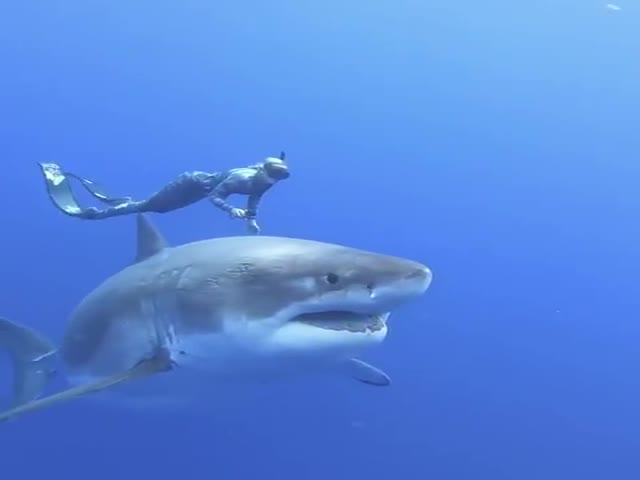 This Is The Largest White Shark In The World!