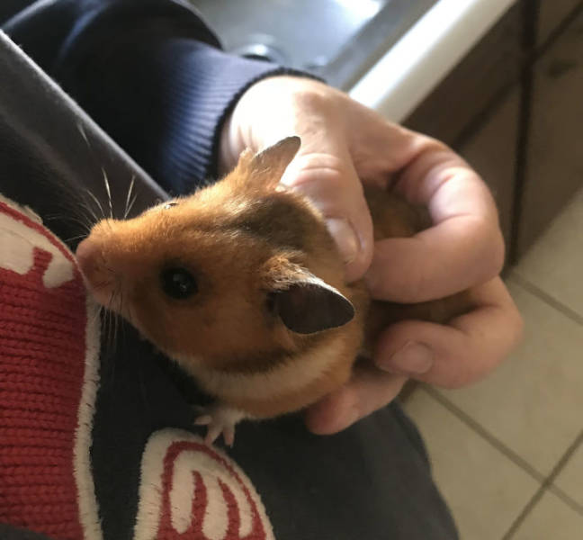 Dad Freaks Out After Losing His Daughter's Hamster, Eventually Finds It