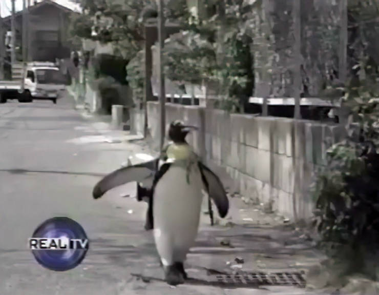 This Penguin Can Buy Fish On His Own!