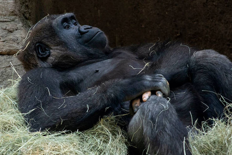 Just Look At This Gorilla's Fingers!