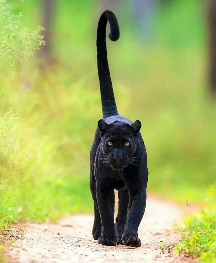 Panthers Are Essentially Just Oversized Black Cats