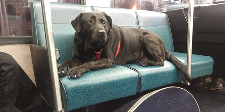 This Dog Doesn't Need Anyone To Walk In The Park. She Can Even Ride The Bus!