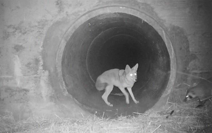 Coyote Encourages His Slow Badger Friend To Cross The Road Together In Viral Video Captured At Night