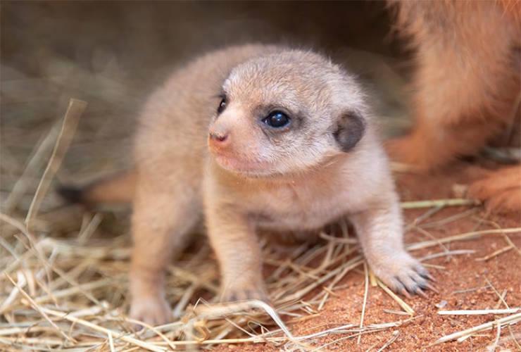 Look, You NEED Meerkat Pups In Your Life!