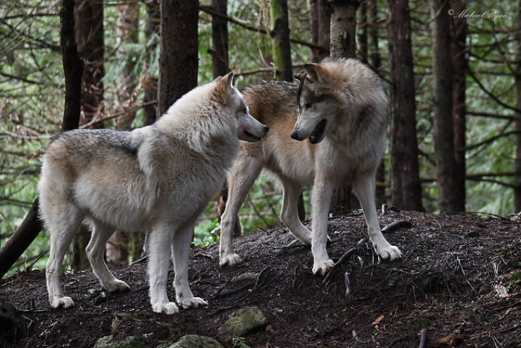 You Can Visit This Island Full Of Friendly Wolves!
