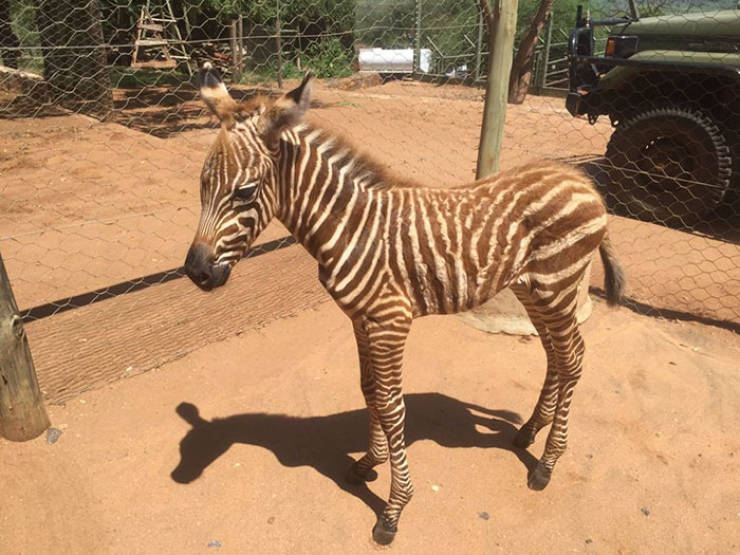 Conservation Workers Use A Special Trick That Allows Them To Take Care Of Baby Zebras