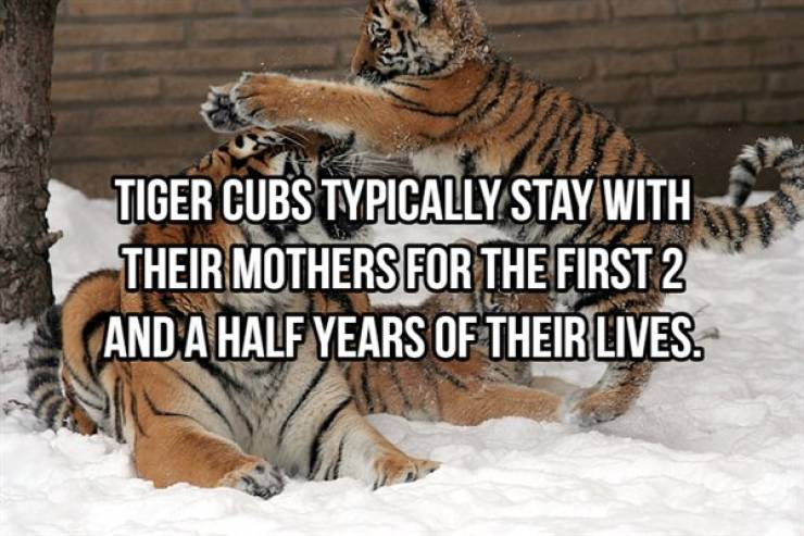 Striped And Cuddly Facts About Tigers