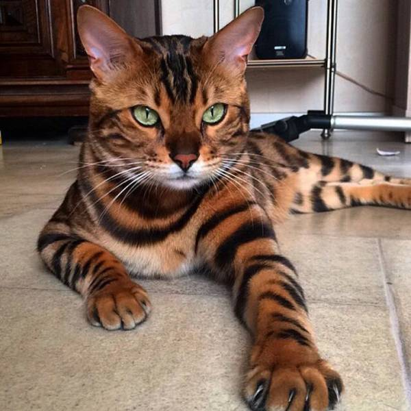 You Can't Resist These Cat Breeds!