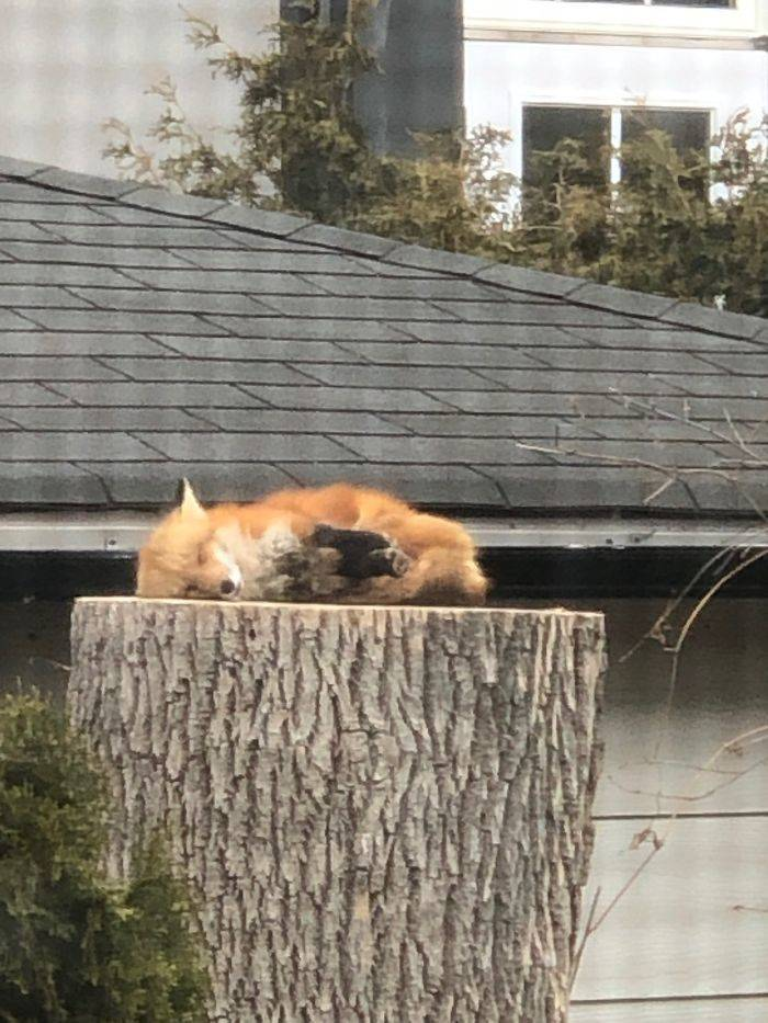 If You Need Something To Cheer You Up During Quarantine, Here's A Fox Sleeping On A Tree Stump