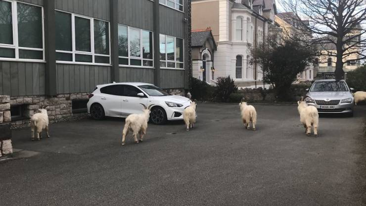 Wild Goats Own This Welsh City Now!