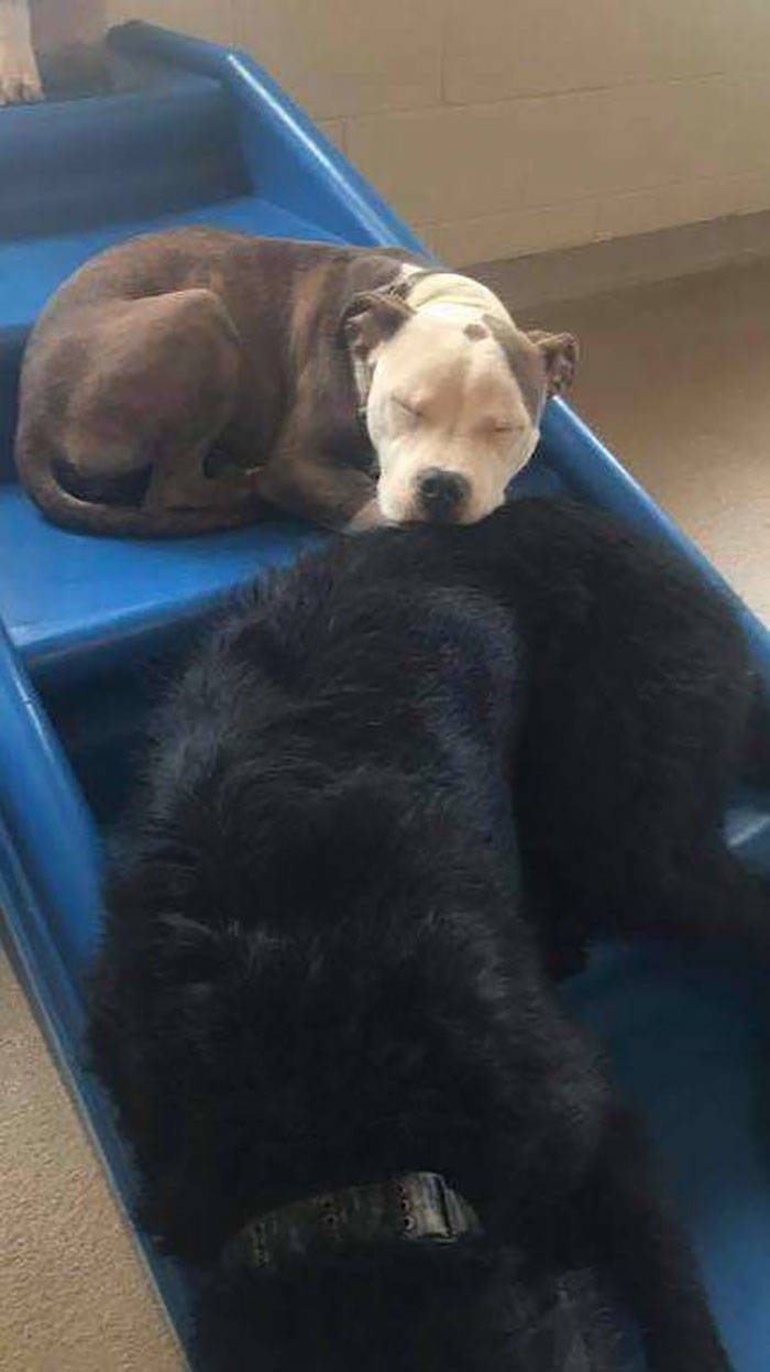 This Dog Uses Other, Fluffier, Dogs As Pillows