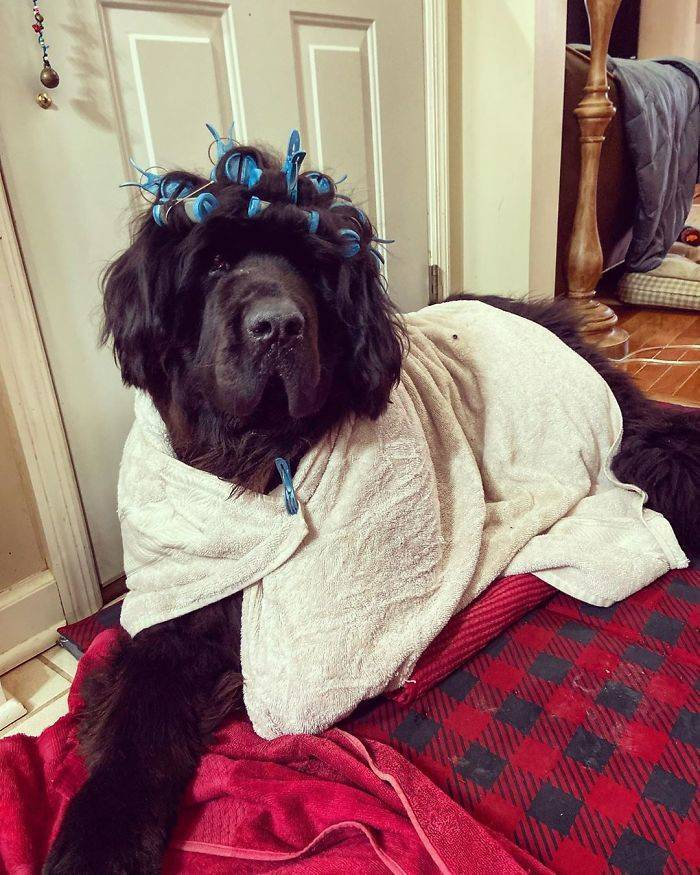 Hank The Newfoundland Becomes A Top Model During Quarantine Thanks To His Owner