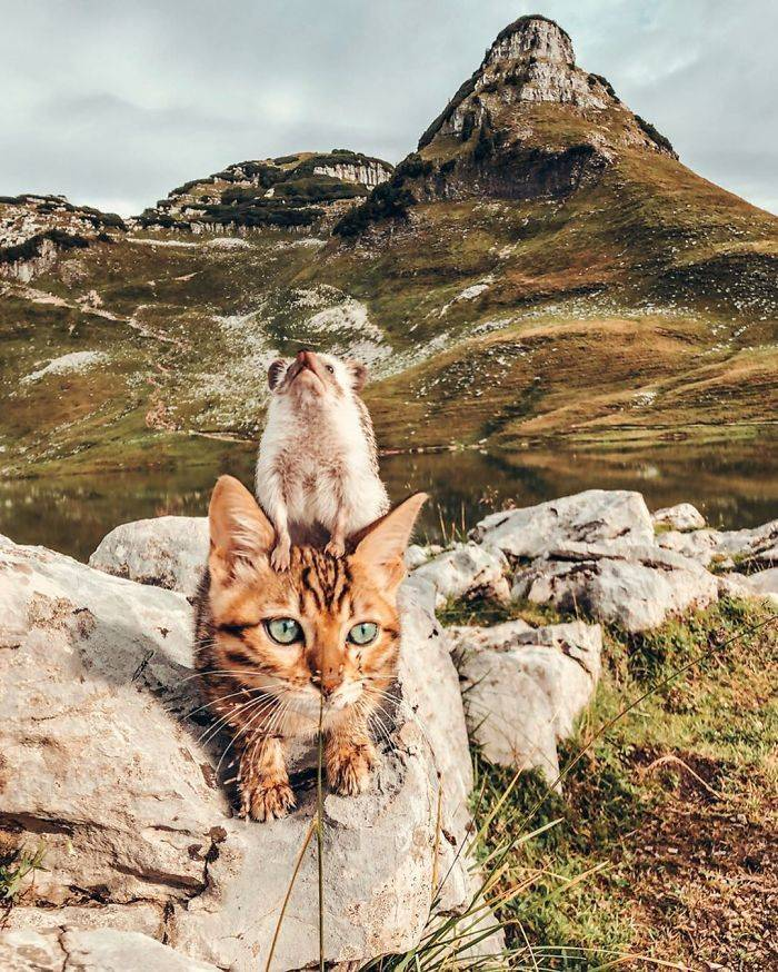 Let's Go On A Journey With This Hedgehog And His Bengal Cat Friend