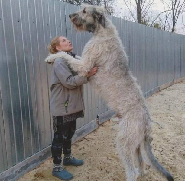 These Dogs Are HUGE!