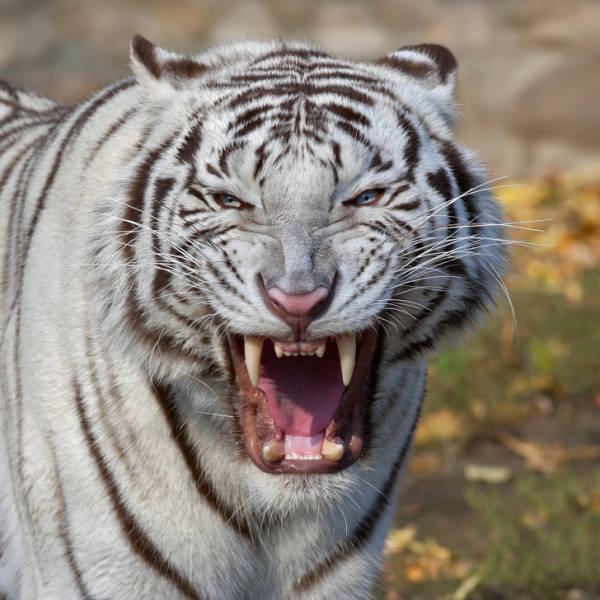 Animals That Have The Strongest Jaws