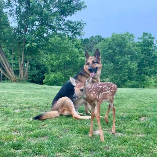 Dog Comforts Fawns His Owner Rescues