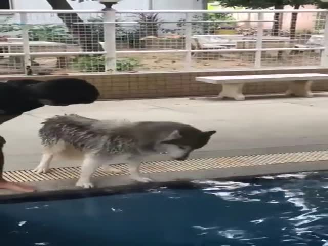 Husky's First Swimming Lesson