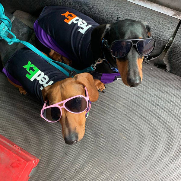 These Dogs Are The Coolest Delivery Drivers!