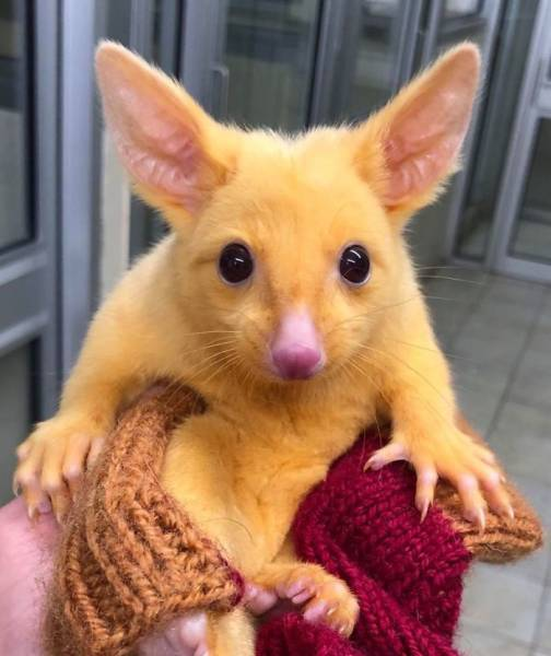Australian Hospital Rescues A Real Life Pikachu