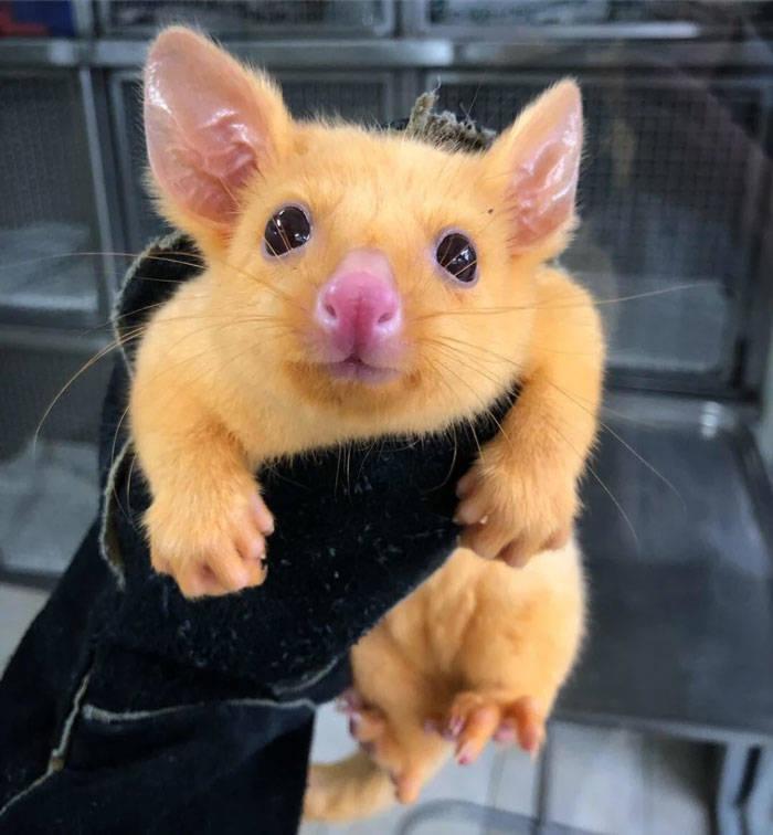 Australian Hospital Rescues A Real Life Pikachu