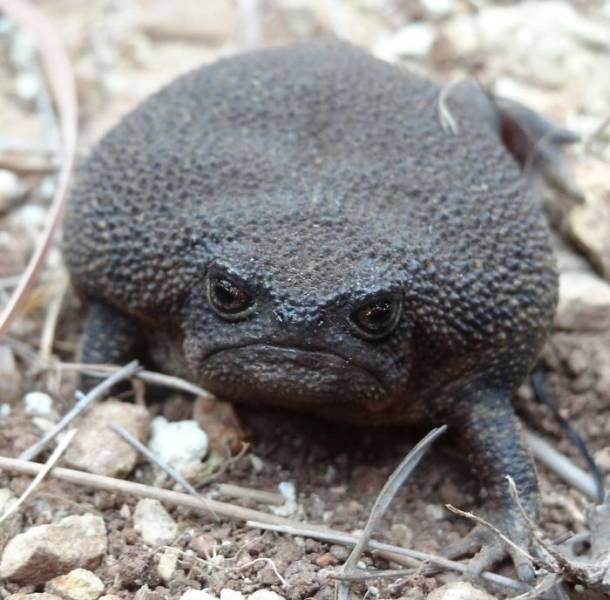 These African Rain Frogs Actually Look Somewhat Adorable!