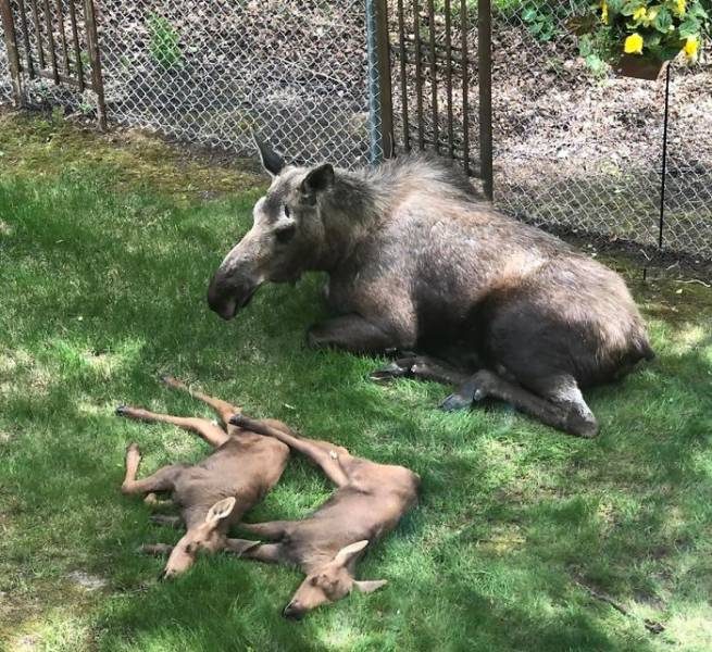 Sir, There's A Moose Family Camping In Your Backyard…