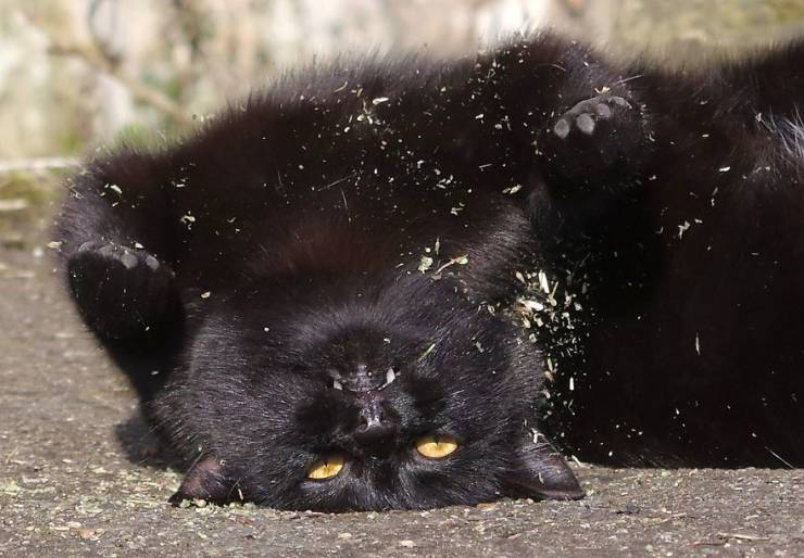 When Cats Find Catnip…
