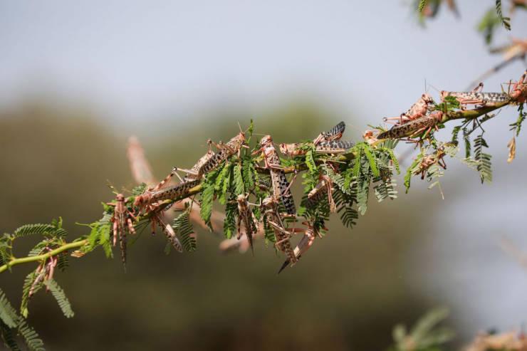 An Epic Locust Swarm In Africa