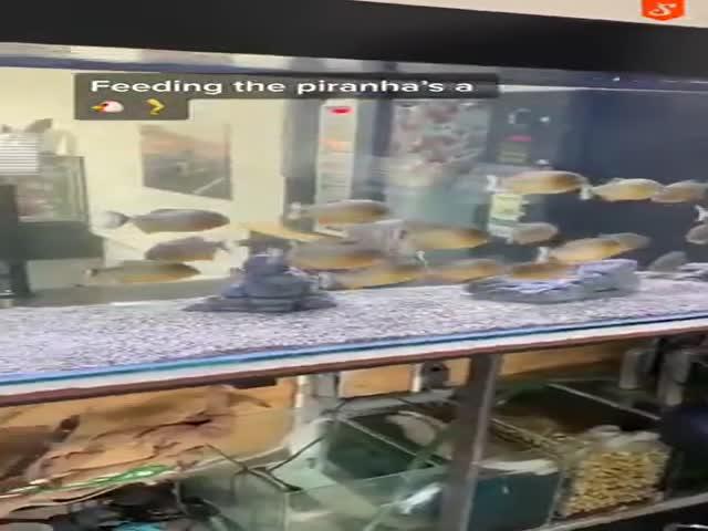 Piranha Feeding…