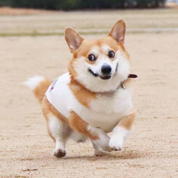 This Corgi Could Be A Hollywood Actor!