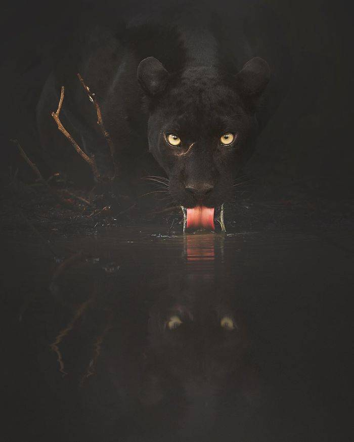 Photographer Gets A Chance To Photograph A Unique Animal Amidst Indian Jungles – A Black Panther