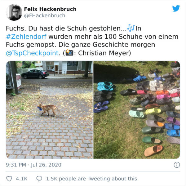 This German Fox Is A Shoe Thief!