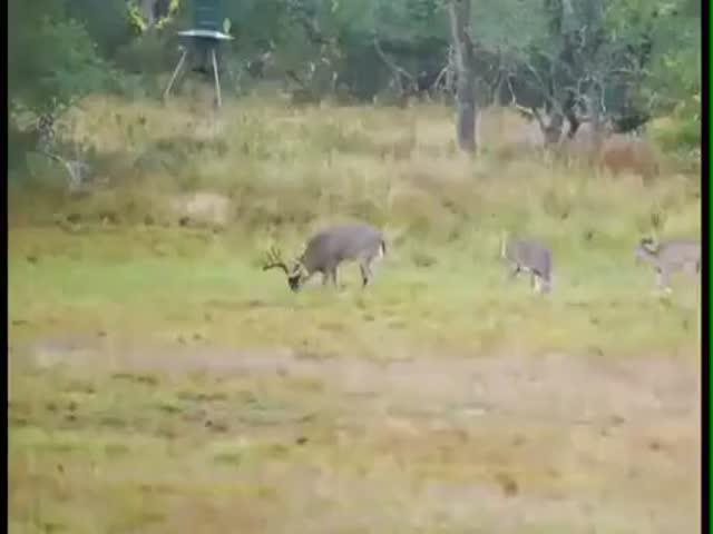 Ram Vs Deer