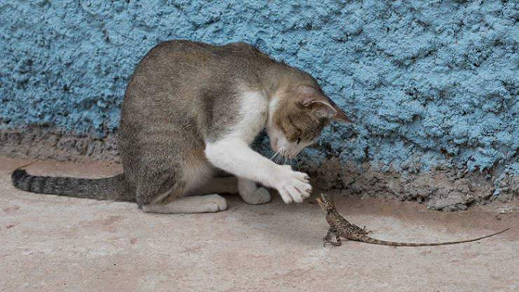 "Cats And Lizards Love ""Playing"" Together!"