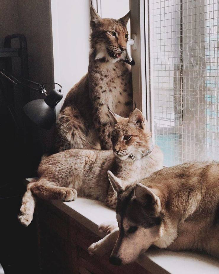 Russian Woman Lives With Two Adopted Lynxes, Eight Dogs And Three Horses