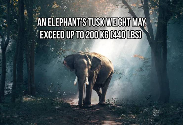 Heavyweight Facts About Elephants