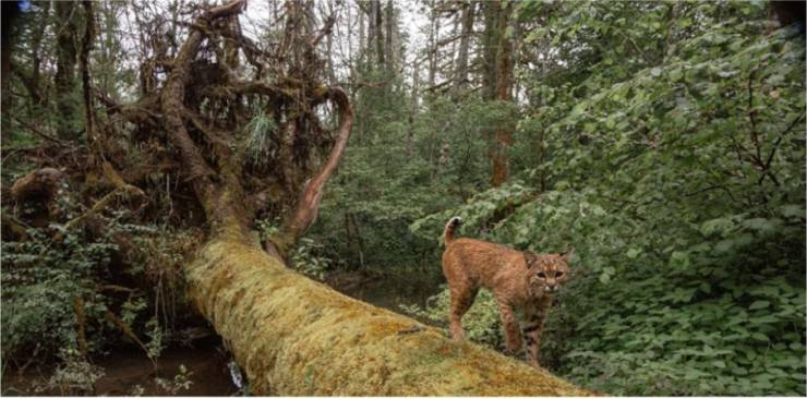 Photographer Installed His Camera In A Forest Trying To Take A Picture Of A Lynx, But Got More Than That
