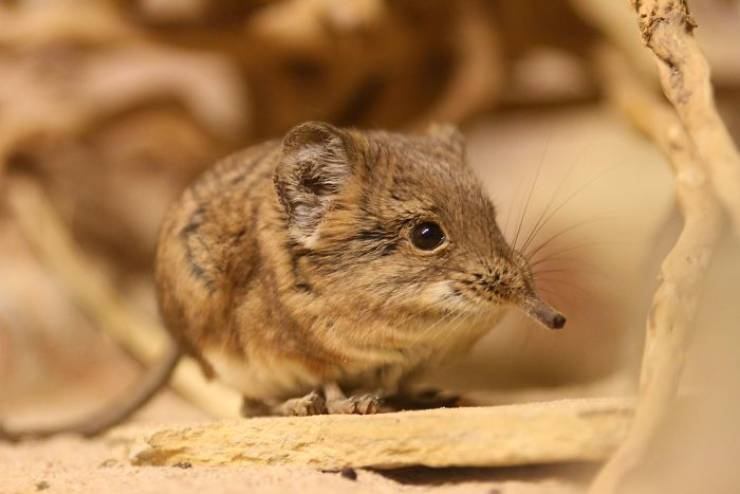 Tiny Elephant Shrews Are Not A Lost Species Anymore!
