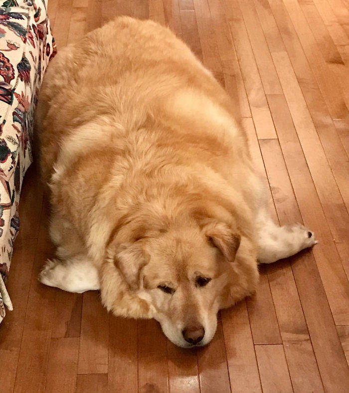 Owner Overfeeds This Golden Retriever, Decides To Put Him Down Because Of Obesity, But Vet Saves The Poor Dog