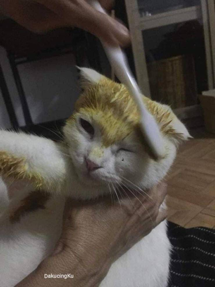 Cat Gets Treated With Turmeric Against Fungal Infection, Turns Into Pikachu!
